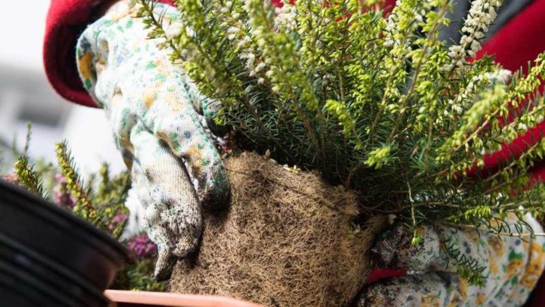 Ein Wurzelballen mit grüner Pflanze wird von einer Person mit weißen Gartenhandschuhen in einen neuen Balkonblumenkasten umgepflanzt (Symbolbild).