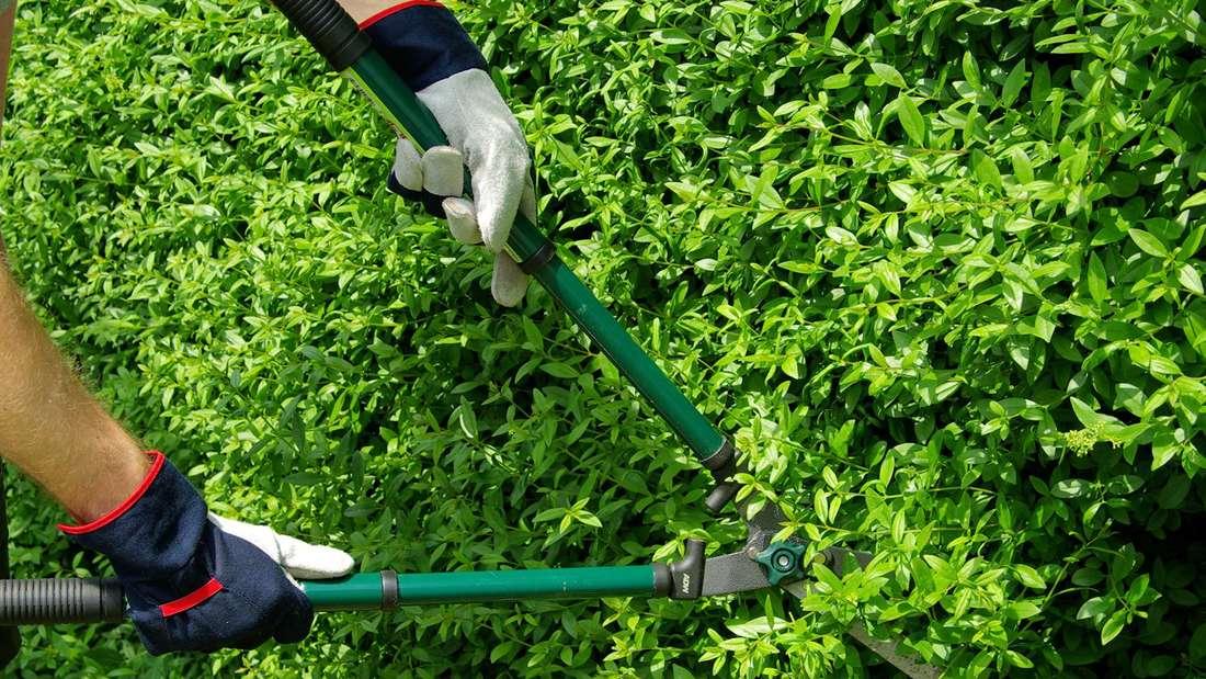 Auf dem Bild schneidet ein Gärtner mit einer Heckenschere seine grüne Hecke (Symbolbild).