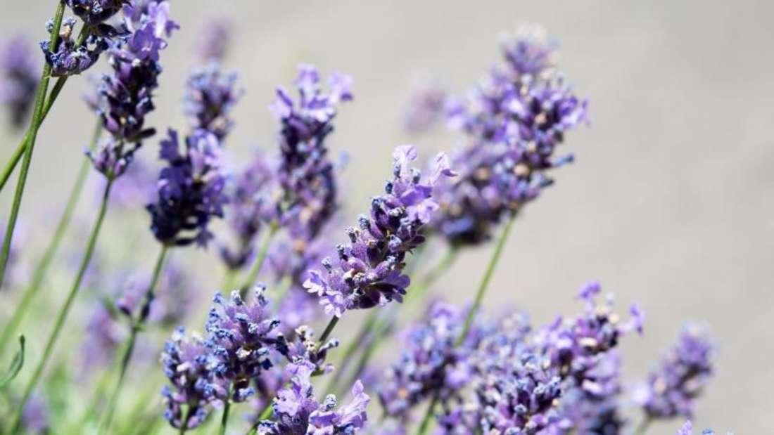 Zu sehen ist eine blühende Lavendelpflanze (Symboldbild).