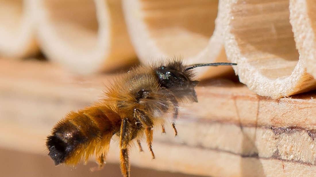Eine Biene ist kurz davor in ein abgeschliffenes Röhrchen eines Insektenhotels zu fliegen (Symbolbild).