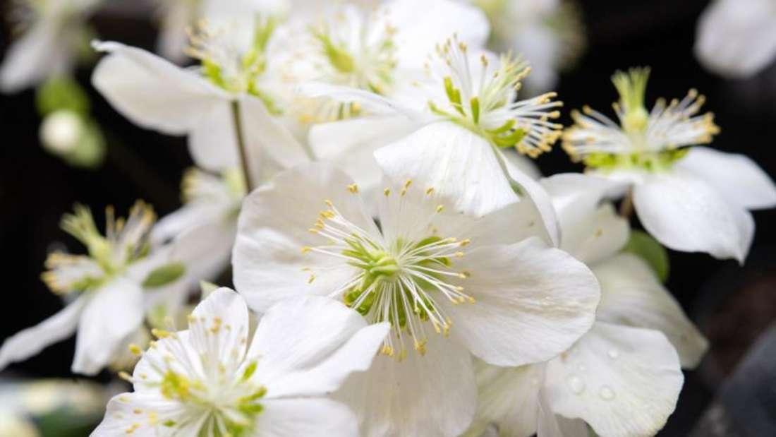 Man sieht eine weiß blühende Christrose (Symbolbild).
