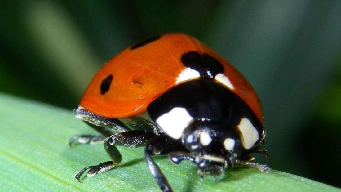Zu sehen ist ein Marienkäfer auf einem Grashalm (Symbolbild).