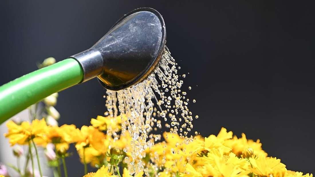Zu sehen sind gelbe Blumen, die mit einer Gießkanne gegossen werden (Symbolbild).