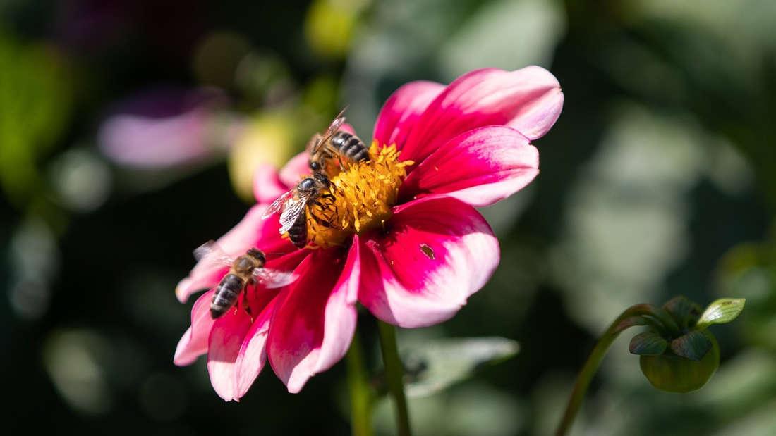Bienen an einer Blüte.