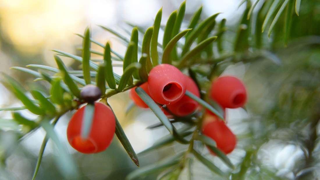 Zu sehen ist ein Eibenzweig mit grünen Nadeln und roten Beeren (Symbolbild).