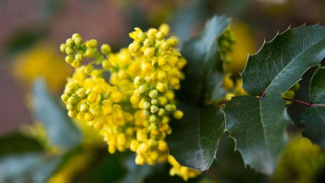 Zu sehen ist eine gelb blühende Mahonie (Symbolbild).