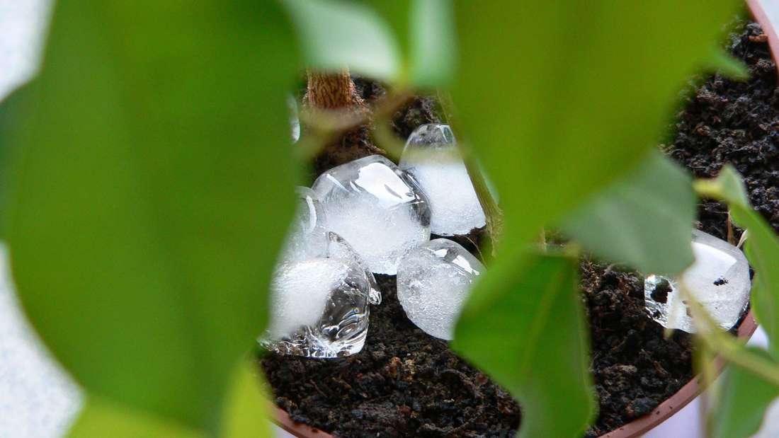 Zu sehen ist einen Zimmerpflanze auf deren Erde viele Eiswürfel liegen (Symbolbild).