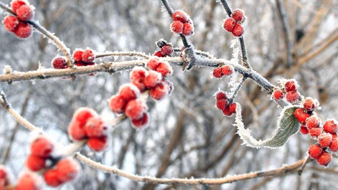 Zu sehen sind mit Frost überzogene Hagebutten (Symbolbild).