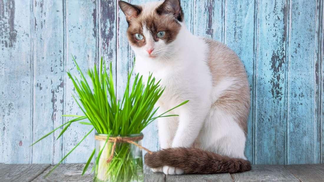 Eine cremefarbene Katze sitzt vor einem Glas mit abgeschnittenem Katzengras drin.