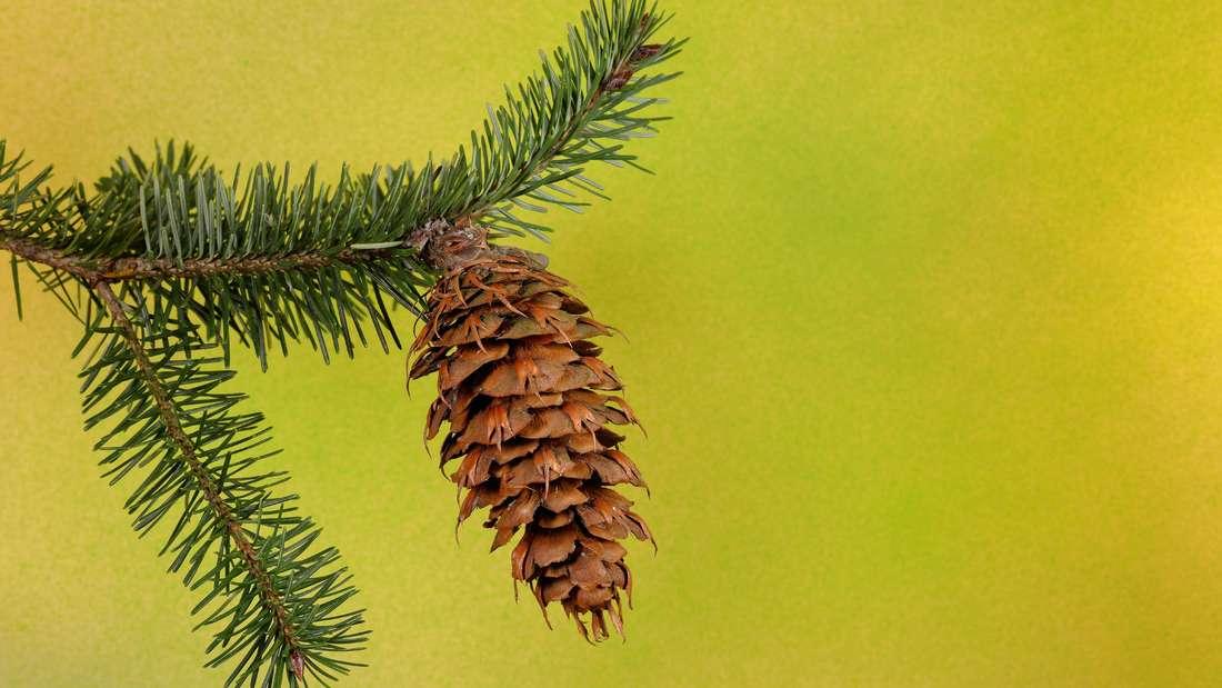 Ast der Douglasie mit grünen Nadeln von der linken Seite ins Bild ragen. An der Spitze hängt ein brauner Zapfen.