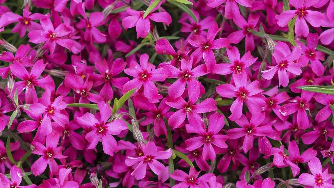 Zu sehen sind unzählige violette und pinkfarbene Polster-Phlox-Blüten.