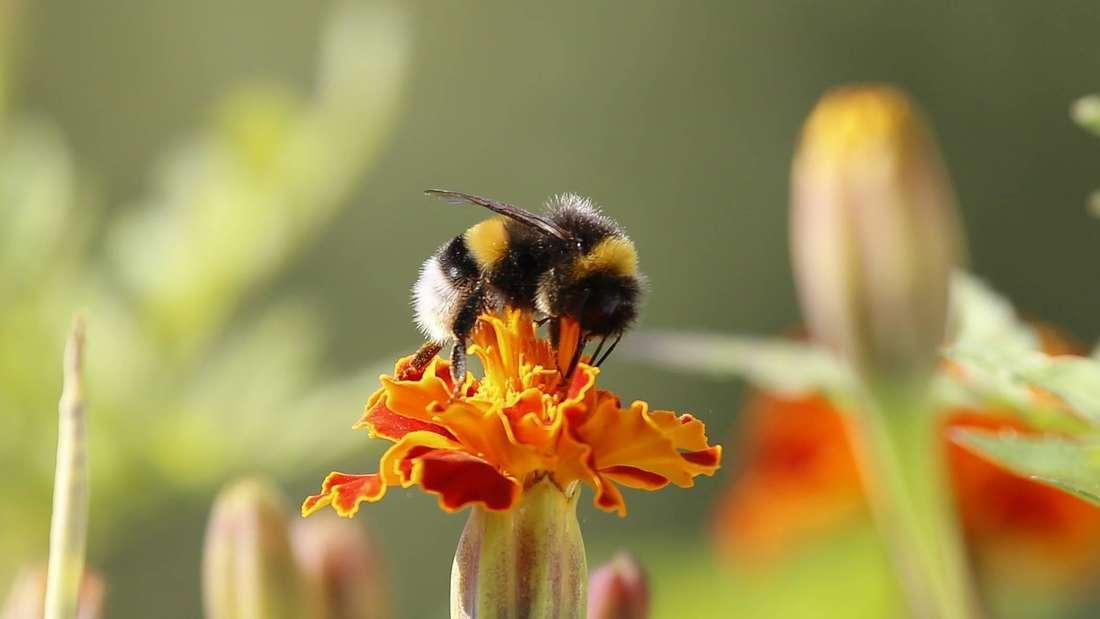 Zu sehen ist eine gelb-schwarz gestreifte Gartenhummel mit einem weißen Hinterteil. Sie saugt Nektar aus einer orangefarbenen Blüte (Symbolbild).