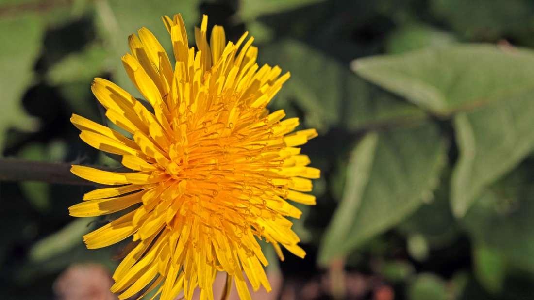 Zu sehen ist eine gelb blühende Löwenzahnblüte (Symbolbild).