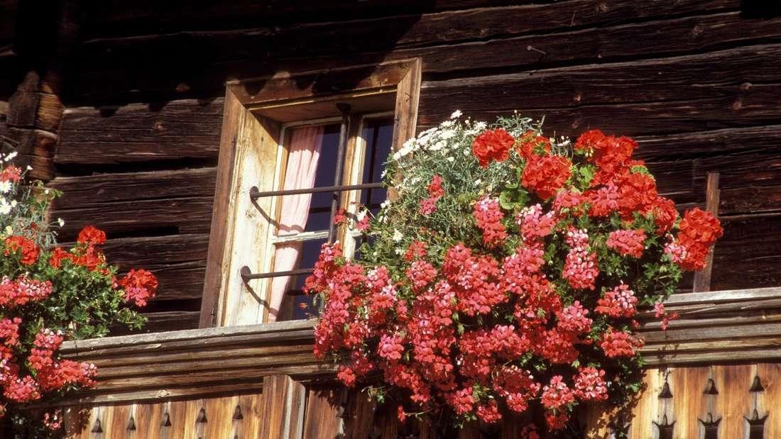 Zu sehen ist ein Balkon aus Holz, an dem ein Kasten mit roten und orangefarbenen Hängegeranien hängt (Symbolbild).