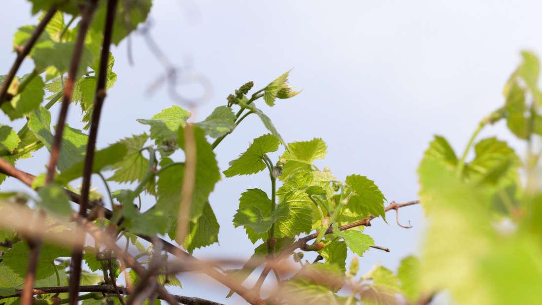 Zu sehen sind Weinreben mit Fruchtansätzen vor einem blauen Himmel (Symbolbild).