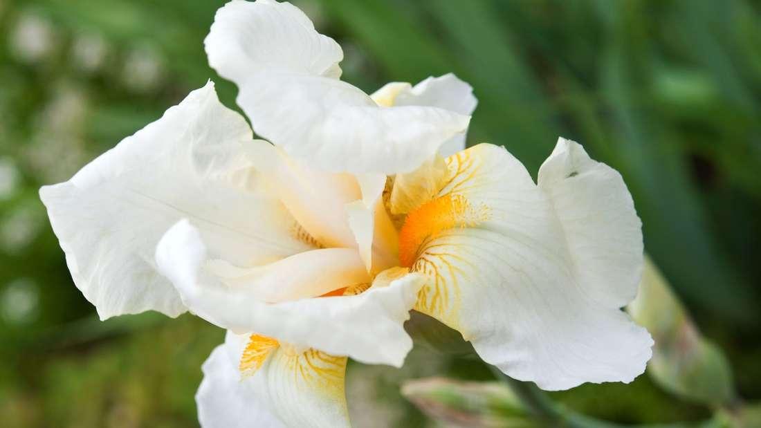 Warum die Hohe Bart-Iris geteilt werden sollte