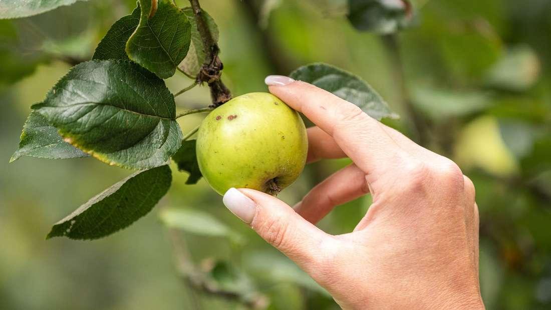 Darf man Äpfel von der Dorfwiese pflücken?