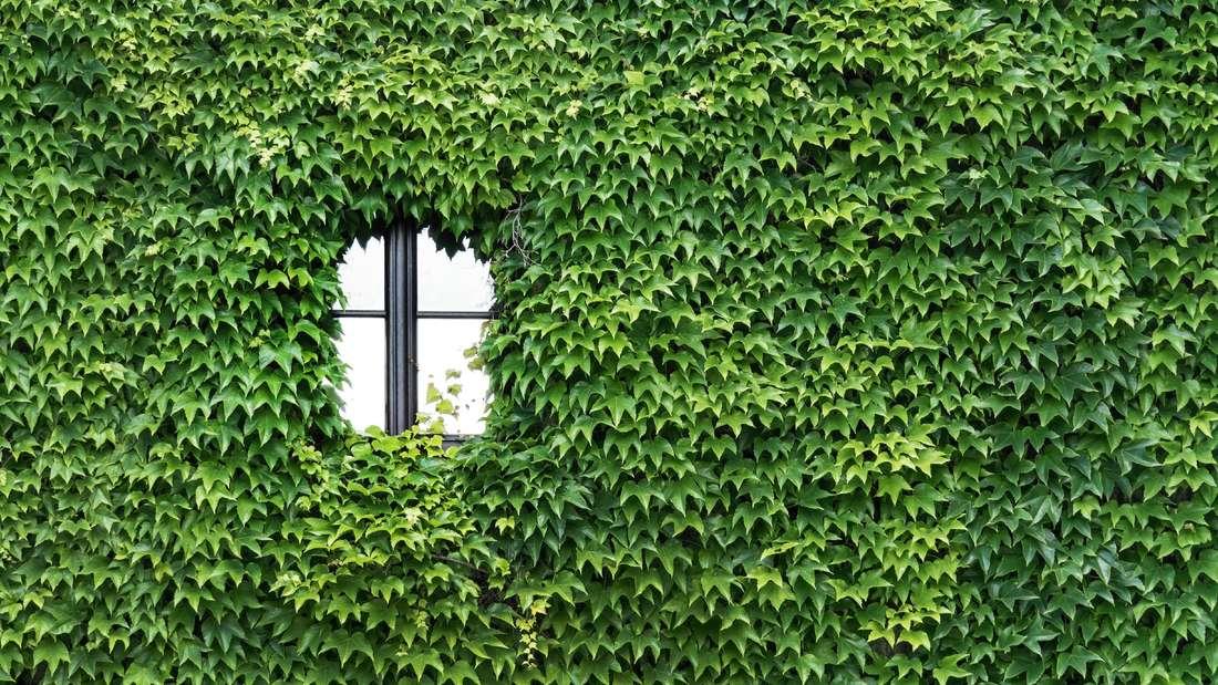 Zu sehen ist eine Hausfassade, die komplett von Efeu zugewachsen ist (Symbolbild).
