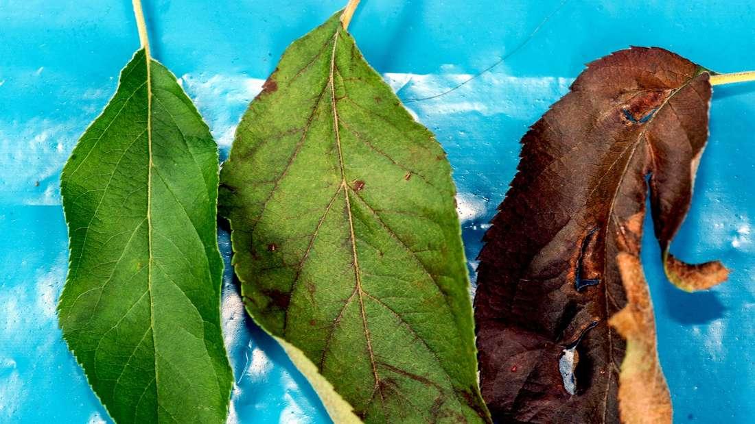 Braune Blätter bedeuten nicht unbedingt Feuerbrand