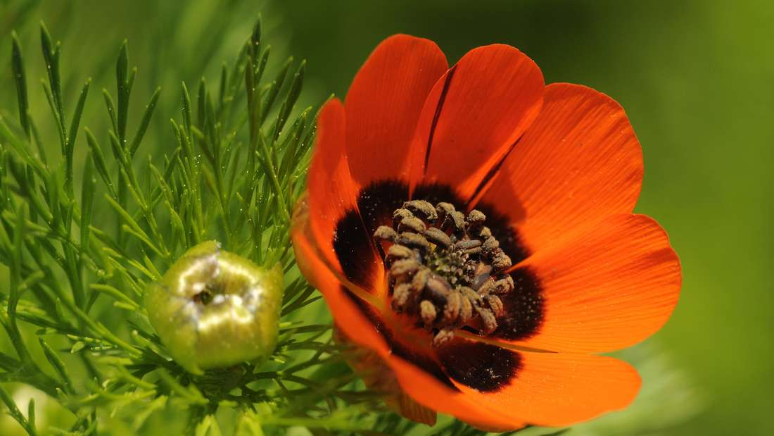 Zu sehen ist eine Nahaufnahme des rotblühenden Sommer-Adonisröschens (Symbolbild).