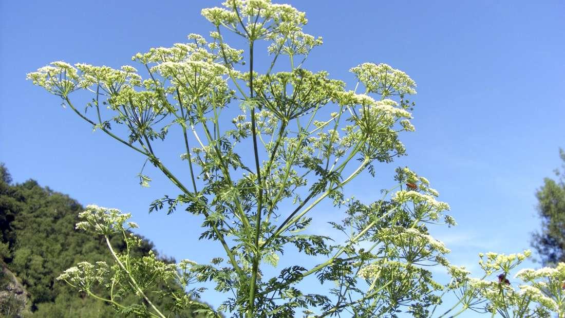 Zu sehen ist blühender Gefleckter Schierling, von schräg unten in einem Wald gegen blauen Himmel fotografiert (Symbolbild).