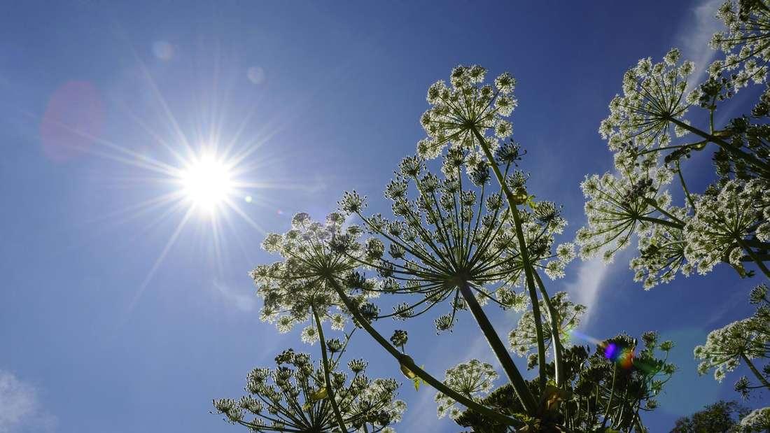 Zu sehen sind die Blütenstände des Riesenbärenklaus, die sich gen blauen Himmel und Sonne strecken (Symbolbild).
