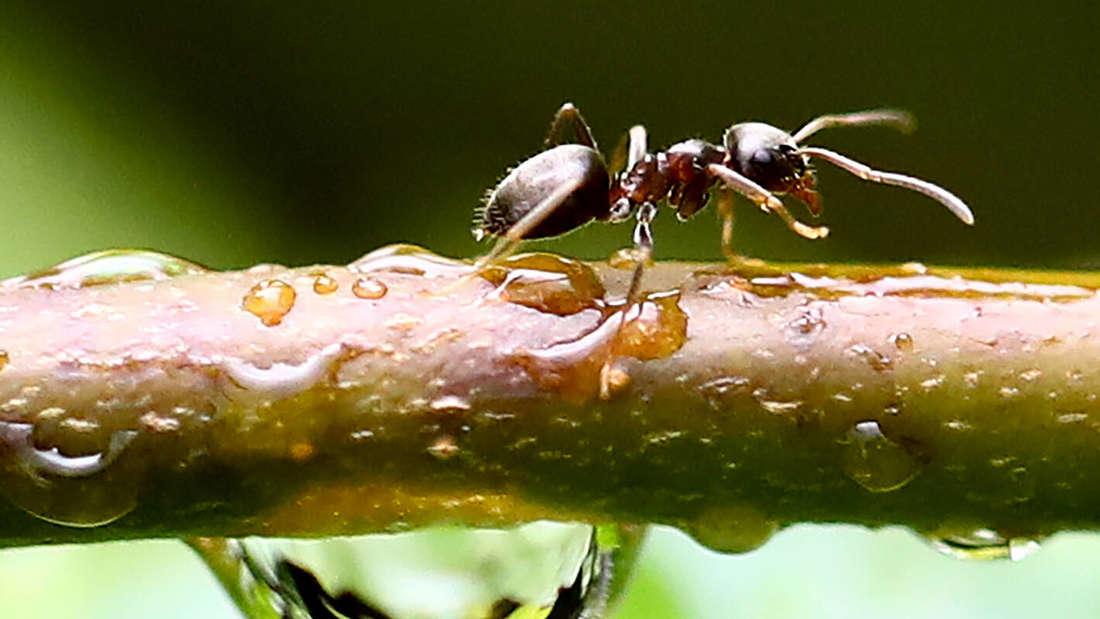 Zu sehen ist eine Ameise, die auf einem tropfnassen Ast von links nach rechts läuft (Symbolbild).