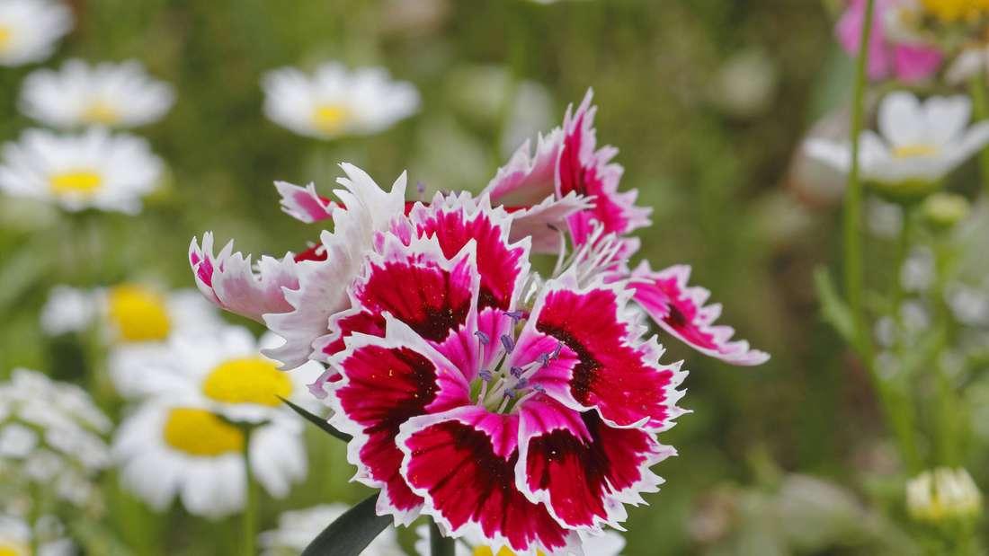 Zu sehen ist die Blüte einer Bartnelke, die weiß, rosa und dunkelrot gefärbt ist (Symbolbild).
