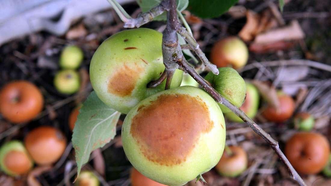 Sonnenbrand auf Äpfeln