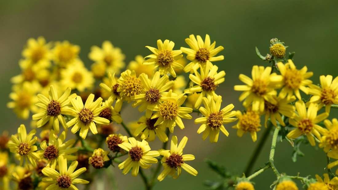 Zu sehen sind viele gelb blühende Blüten des Jakobskreuzkrauts (Symbolbild).