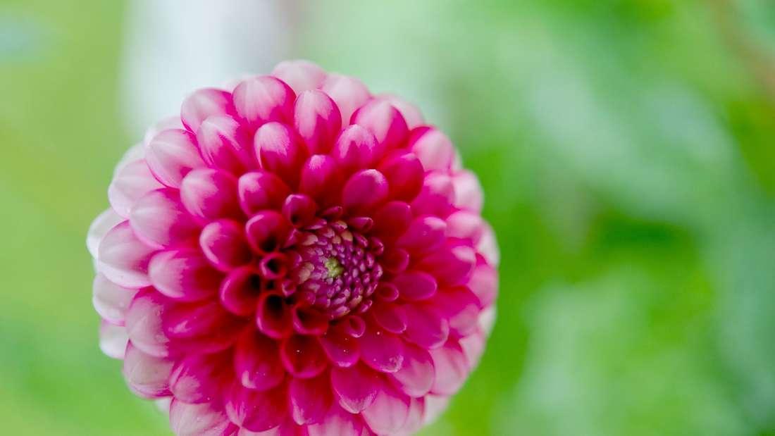 Dahlie blühen Garten Sommer