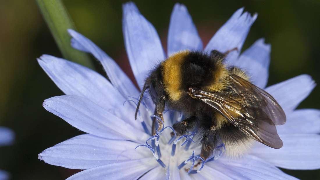 Zu sehen ist eine Hummel, die auf einer Wegwarten-Blüte sitzt (Symbolbild).