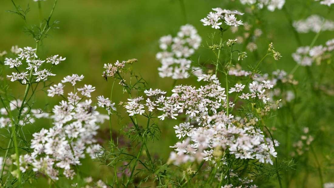 Die weißen Blüten des Korianders. (Symbolbild)