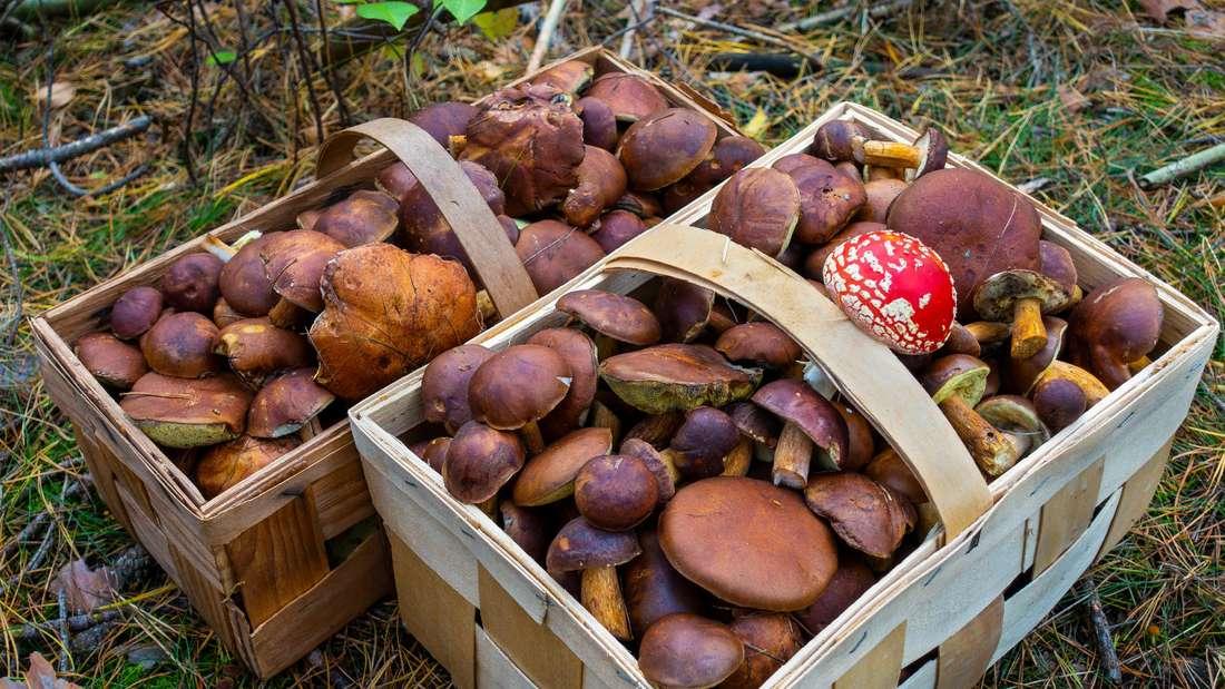 Zwei Körbe voller schmackhafter Maronen von einem Pilzsammler in den Wäldern bei Senzig (Symbolbild).