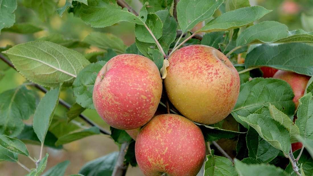Zu sehen ist ein Apfelbaumzweig, an dem drei reife Äpfel der Sorte Roter Boskoop hängen (Symbolbild).