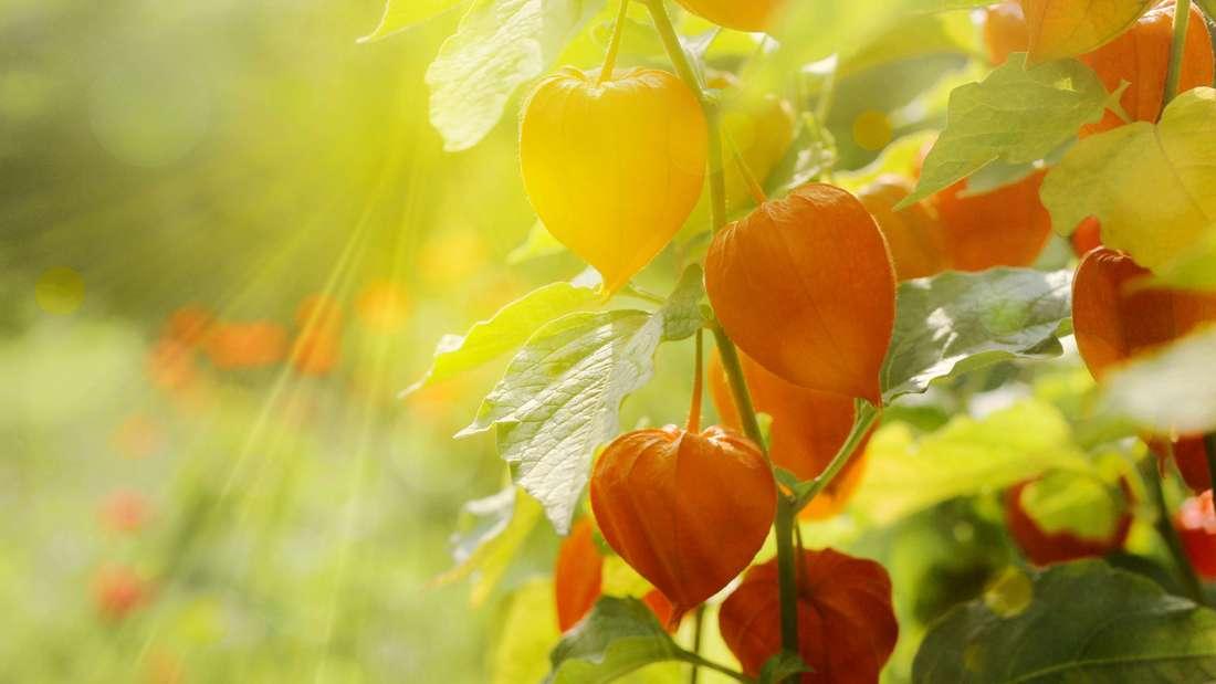 Zu sehen ist ein Strauch, an dem viele orange Lampion-ähnliche Blätter hängen (Symbolbild).