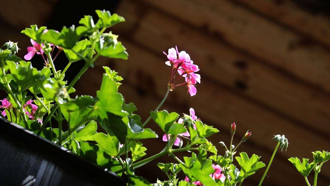 Die schönsten Sommerblumen vermehren