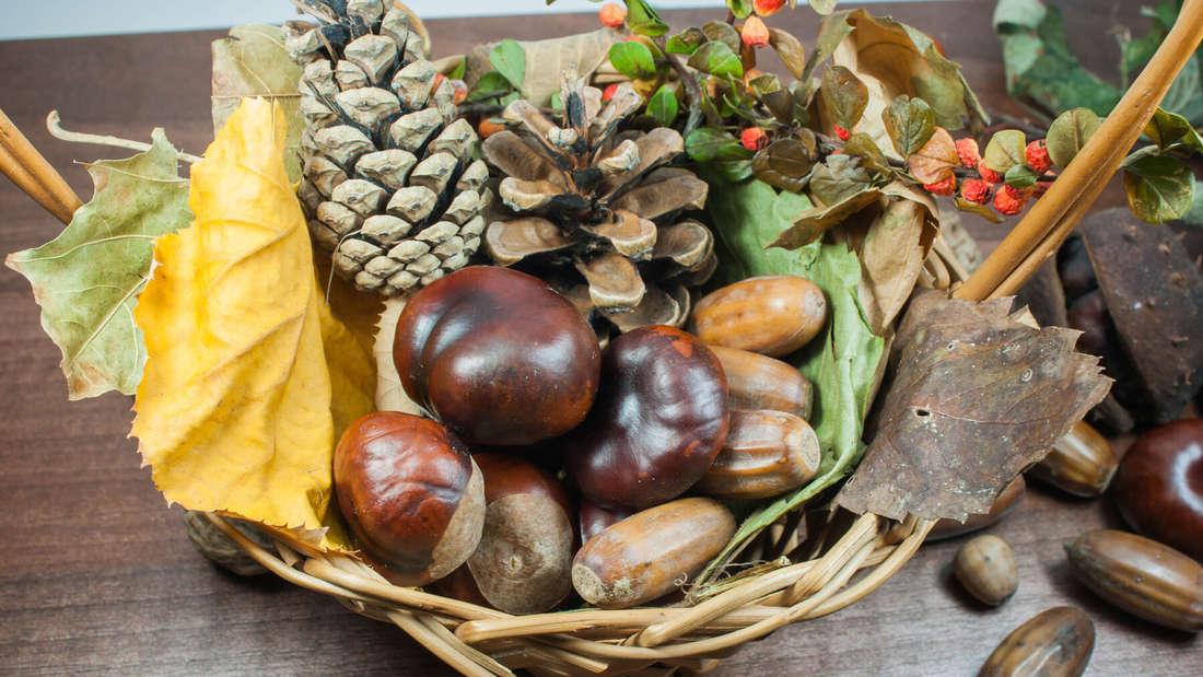 Zu sehen ist ein Korb, dekoriert mit Eicheln, Kastanien und bunten Blättern sowie Zapfen (Symbolbild).