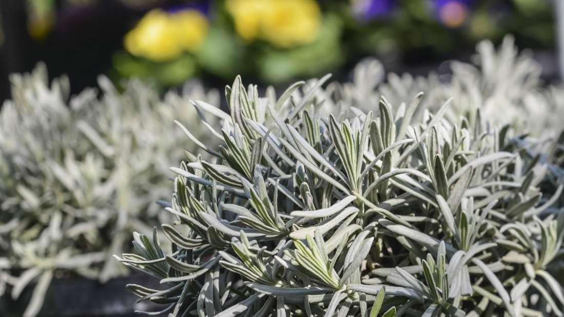 Zu sehen ist ein Lavendel ohne Blüten in Nahaufnahme (Symbolbild).