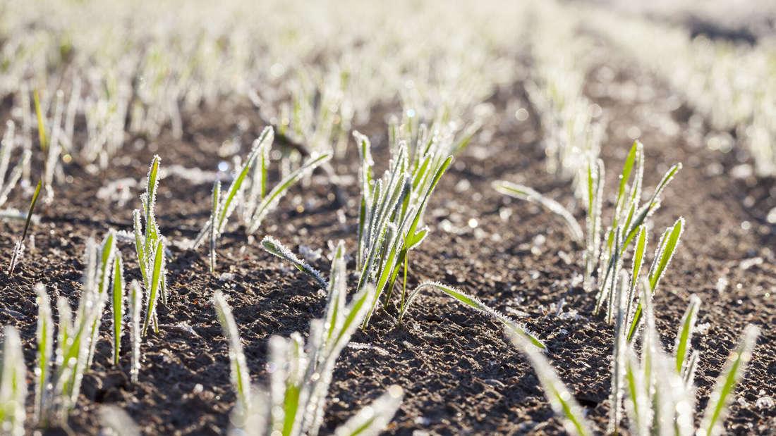 Zu sehen ist eine Erdfläche auf der vereinzelt Grashalme wachsen. Sie sind in Sonnenlicht getaucht, tragen aber eine leichte Eisschicht.